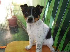 Border Collie/Aust. Cattledog Mix Baby - Classified Ad