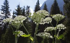 Cow Parsnip. Near Two Medicine Lake, Glacier National Park, July 2012. Pat Snyder Photo.