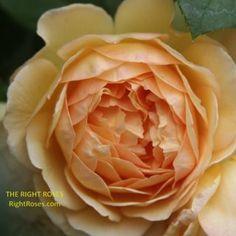 Princess Alexandra of Kent Rose Review   David Austin 2007 - The Right Roses Jude The Obscure, Garden Rose Bouquet, Small Shrubs, Shrub Roses, Princess Alexandra, David Austin Roses, Kinds Of Colors, New Growth, Desert Rose