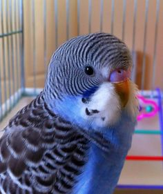 Blue baby budgerigar> aaaw, what a sweeter :) Source by joannealove All Birds, Cute Birds, Pretty Birds, Little Birds, Beautiful Birds, Pretty Baby, N Animals, Cute Animals, Budgie Parakeet