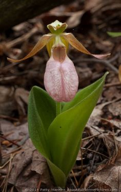 Native American Ethnobotany | Pink Lady's Slippers – Cypripedium acaule