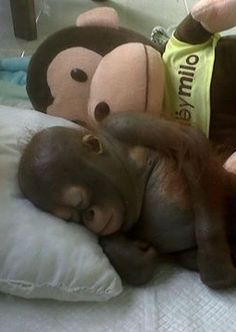 This orphaned orangutan can't sleep without someone to snuggle up against.