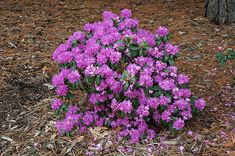 Click to view full-size photo of Compact P.J.M. Rhododendron (Rhododendron 'P.J.M. Compact') at Bachman's Landscaping