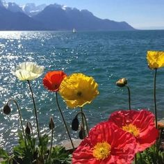 poppies by the shore Beautiful World, Beautiful Places, Beautiful Pictures, Wild Flowers, Beautiful Flowers, Wild Poppies, Beautiful Scenery, Icelandic Poppies, Jolie Photo