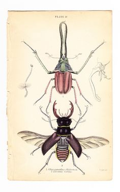 Antique Vintage Beetle Print . Lucanus Cervus .  plate 18 . original coleoptera engraving art dated 1835 vol II. $26.95, via Etsy.