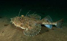 The silence of the deep? Not quite, say scientists - deep sea fish actually grunt and quack Life Aquatic, Marine Fish, Deep Sea Fishing, Beautiful Fish, The Life Aquatic