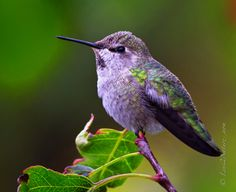 beautiful purple & green Hummingbird!