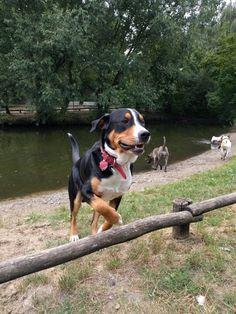 Hugo Greater Swiss Mountain Dog   Pawshake
