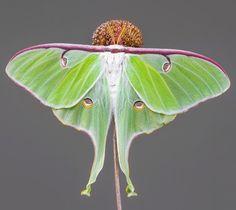 Actias luna #actias #luna #moth #kelebek #lepidoptera #insect #saturniidae #art #nature #macro #closeup #beautiful #wonderful #beauty #fantastic #naturelover #igclub_butterfly #national_geographic #arthropod_perfection #macro_captures #macroworld_tr #inspiring_shot #9Vaga_Butterfly9 #macro_freaks #grikart_macro #macroclique #flowersandmacro #macro_turkey #fotocatchersmember #Macro_vision