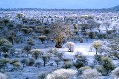 """""""Baobab in the Blue Savana"""" by Cédric Charest, via 500px. Infrared photo of Tarangire National Park in Tanzania. Love the huge Baobab Tree in the middle of the photo."""