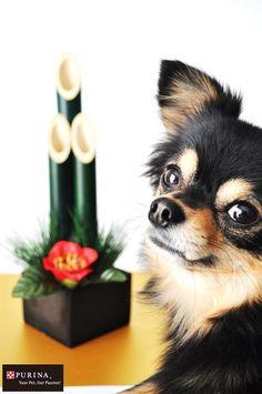 画像G: お正月が楽しみだワン/犬 イヌ dogs(Nestle PURINA ネスレ日本)