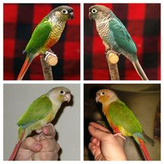 normal, turquoise, pineapple, or cinnamon green cheeked conure