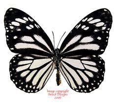 Resultado de imagem para Tigre branco do melanippus do Danaus da espécie da borboleta
