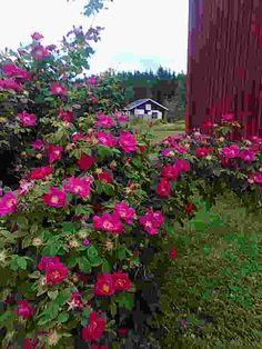 Valamonruusu Courtyard Ideas, Garden, Flowers, Plants, Garten, Florals, Gardens, Planters, Flower