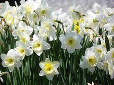 daffodils in Maine!  www.ReneeLammers.com
