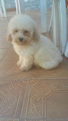 Cachorro de Caniche toy de color blanco FCA  en venta http://lomas-de-zamora.clasiar.com/cachorro-de-caniche-toy-de-color-blanco-fca-en-venta-id-242439