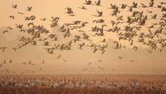 In überwältigender Zahl bevölkern im Morgengrauen Kraniche Feld und Himmel über Fischland-Darß-Zingst, © TMV/Growe-Lodzig
