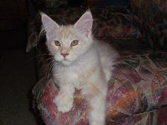 Beautiful Maine coon kitten.