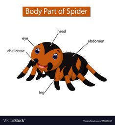 Diagram showing body part spider Royalty Free Vector Image - Diagram showing body part spider Royalty Free Vector Image - Learning English For Kids, Teaching English, Improve English, Learn English, Animals Name In English, Preschool Phonics, Animal Body Parts, English Lessons, English Resources