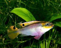 Pelvicachromis roloffi, Roloffs Prachtbarsch
