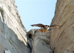 Peregrine Falcon Swooping down at Scarborough Bluffs, Toronto, ON Scarborough Bluffs, Peregrine Falcon, O Canada, Countries Of The World, Ontario, Toronto, Feather, Birds, Live