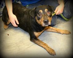 1 / 6 Petango.com – Meet Willy, a 2 years Rottweiler / Mix available for adoption in HEATH, OH Contact Information Address 825 Thornwood Drive, HEATH, OH, 43056 Phone (740) 323-2100 Website http://www.lchspets.org Email info@lchspets.org