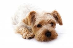 Yorky Stock Photos and Pictures Top 10 Dog Breeds, Yorky, Miniature Schnauzer, French Bulldog, Houston, Teddy Bear, Stock Photos, Pets, Yorkshire Terriers