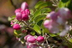 Kwiat Jabłoni, Jabłoń, Pączek, Różowy, Wiosna, Kwiat