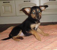 Schäferhund Jack Russel Mix Luna Ich bin klein, meine Ohren gross    Hundename: Luna / Rasse: Schäferhund Jack Russel Mix      Mehr Fotos: https://magazin.dogs-2-love.com/foto/schaeferhund-jack-russel-mix-luna/ Foto, Hund, Rasse