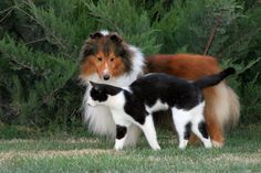 Sheltie and BFF