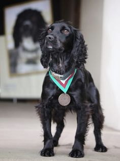 Arms Explosives Search Dog Grace accepted a posthumous PDSA Dickin Medal on behalf of Theo Military Working Dogs, Military Dogs, Police Dogs, Dog Search, Search And Rescue, Bravery Awards, Brave Animals, Military Honors, Animal Heros
