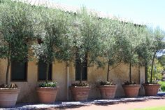 Potted olive trees.