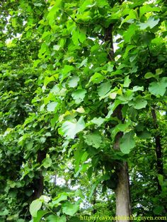 Cây Giá Tỵ hay còn gọi là Cây Tếch, Tên khoa học : Tectona grandis L.f, Họ thực vật : Verbenaceae. Cây có nguồn gốc từ Thái Lan, Myanmar, Ấn Độ