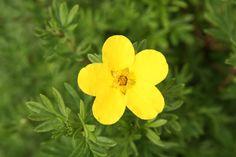 POTENTILLA fruticosa 'Goldfinger' Home And Garden, Spring Garden, Plants, Garden, Growing, Spring