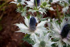 Silberdisteln  #Nature #Natur #Germany #Deutschland #Pflanzen #Flickr #Foto #Photo #Fotografie #Photography #canon60d #Travel #Reisen #德國 #照片 #出差旅行