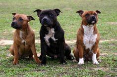Resultado de imagen para staffordshire bull terrier