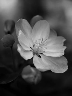 black and white photography . flowers .