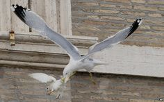 Gull attacking a dove in the Vatican// The pigeon got away, leaving the gull with just a beak-full of feathers. Still, it was hard to imagine a more disturbing omen for peace. And things didn't get any better when a vicious looking crow savaged the other hapless dove.
