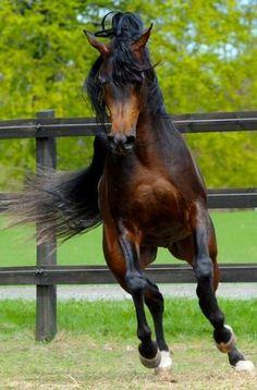 Bright bay stallion
