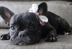 French Bulldog Puppy Princess