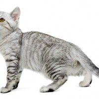 #dogalize Cat breeds: the Serrade Petit cat characteristics and behavior #dogs #cats #pets