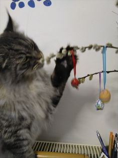 Maine Coon Kater Spirit beschnuppert den Osterbaum Cats, Animals, Arts And Crafts, Easter Activities, World, Gatos, Animales, Animaux, Animal