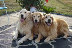 Brie Tyler Bentley Sandy. The only thing better than a Golden Retriever is three Golden Retrievers!!! LOVE this!