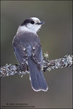 emuwren:  The Gray Jay - Perisoreus canadensis, is a member of the crow family Corvidae, found in the boreal forests across North America no...