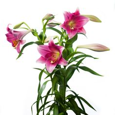 Lilium Longiflorum Pink Heaven