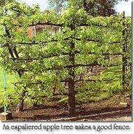 Espaliered Apple Trees - trees pruned and trained to grow flat for easy harvesting and best use of space. Also serves as a nice fence.