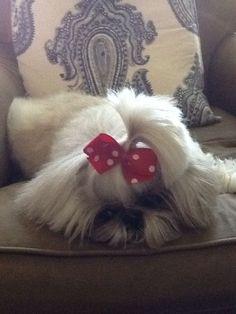 Miso Cute, our darling shih tzu girl:
