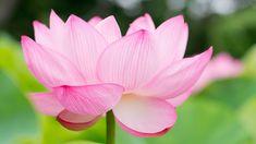 HD wallpaper: selective focus photography of pink petaled flower, lotus, lotus Lotus Flower Symbolism, Lotus Flower Meaning, Lotus Flower Images, Flower Images Free, White Lotus Flower, Pink Lotus, Hibiscus Flowers, Pink Flowers, Fresh Flowers