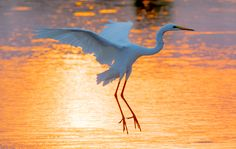 Great white heron at Sunset Dam, Kruger Park Photography Career, Hobby Photography, Wildlife Photography, Amazing Photography, Kruger National Park, National Parks, Grey Heron, White Egret, Baboon