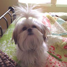 Shi-tzu Love the hair!